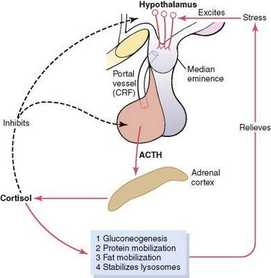 ฮอร์โมน ACTH